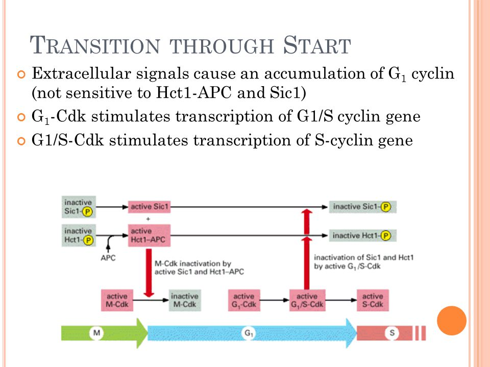 T RANSITION THROUGH S TART Extracellular signals cause an accumulation of G 1 cyclin (not sensitive to Hct1-APC and Sic1) G 1 -Cdk stimulates transcription of G1/S cyclin gene G1/S-Cdk stimulates transcription of S-cyclin gene