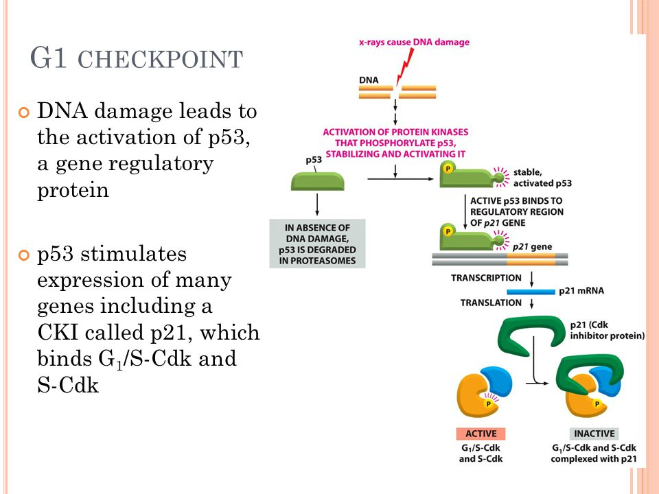 G1 CHECKPOINT DNA damage leads to the activation of p53, a gene regulatory protein p53 stimulates expression of many genes including a CKI called p21,