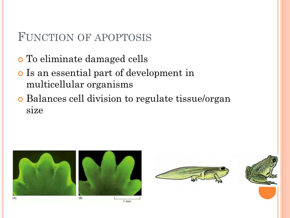 F UNCTION OF APOPTOSIS To eliminate damaged cells Is an essential part of development in multicellular organisms Balances cell division to regulate tissue/organ size