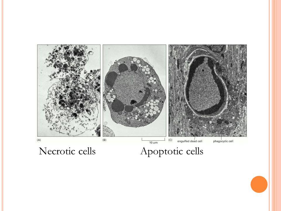 Necrotic cells Apoptotic cells