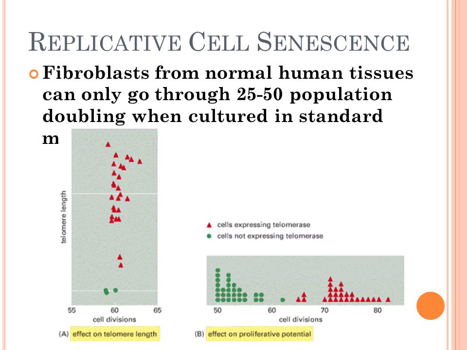 R EPLICATIVE C ELL S ENESCENCE Fibroblasts from normal human tissues can only go through 25-50 population doubling when cultured in standard mitogenic medium