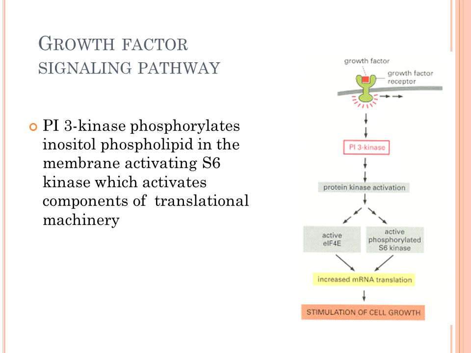 G ROWTH FACTOR SIGNALING PATHWAY PI 3-kinase phosphorylates inositol phospholipid in the membrane activating S6 kinase which activates components of t