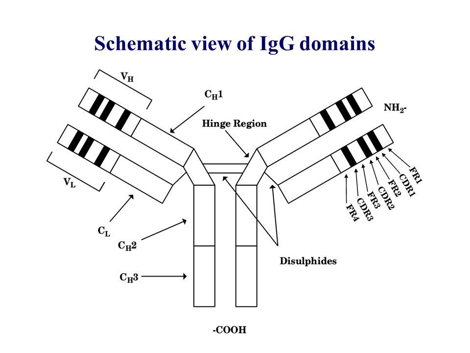 Human IgG Fc Receptors CD64 CD32 CD16