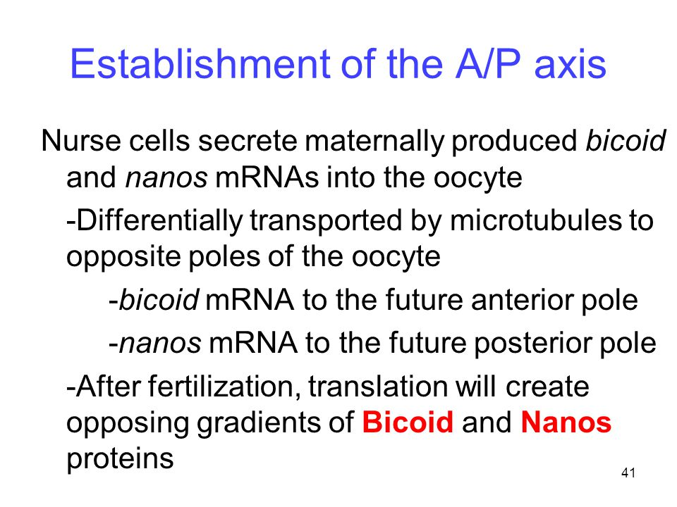 41 Establishment of the A/P axis Nurse cells secrete maternally produced bicoid and nanos mRNAs into the oocyte -Differentially transported by microtu