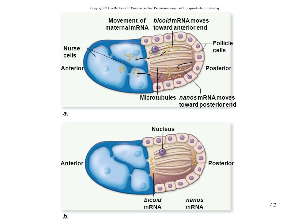 42 a. b. bicoid mRNA moves toward anterior end bicoid mRNA Movement of maternal mRNA Nucleus Microtubules Nurse cells Follicle cells nanos mRNA moves