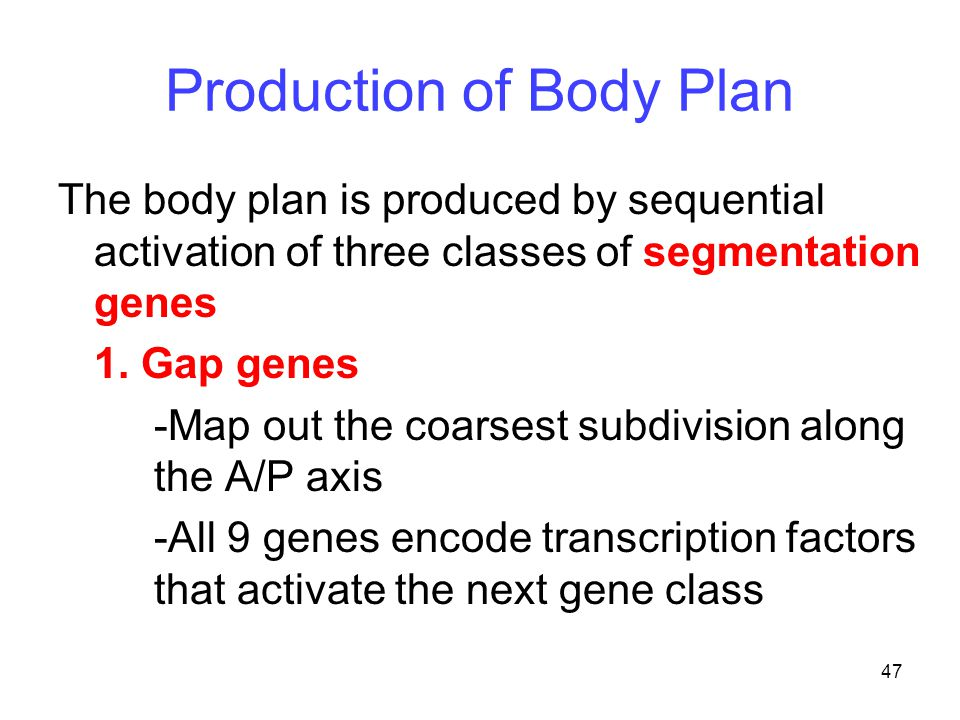 47 Production of Body Plan The body plan is produced by sequential activation of three classes of segmentation genes 1. Gap genes -Map out the coarses