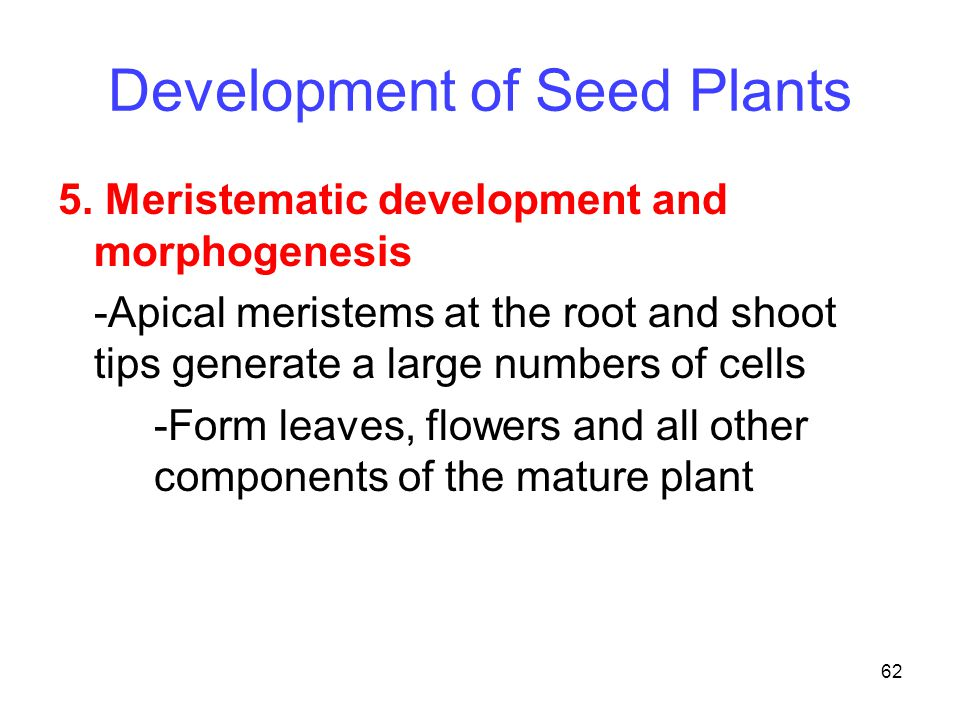 62 Development of Seed Plants 5. Meristematic development and morphogenesis -Apical meristems at the root and shoot tips generate a large numbers of c