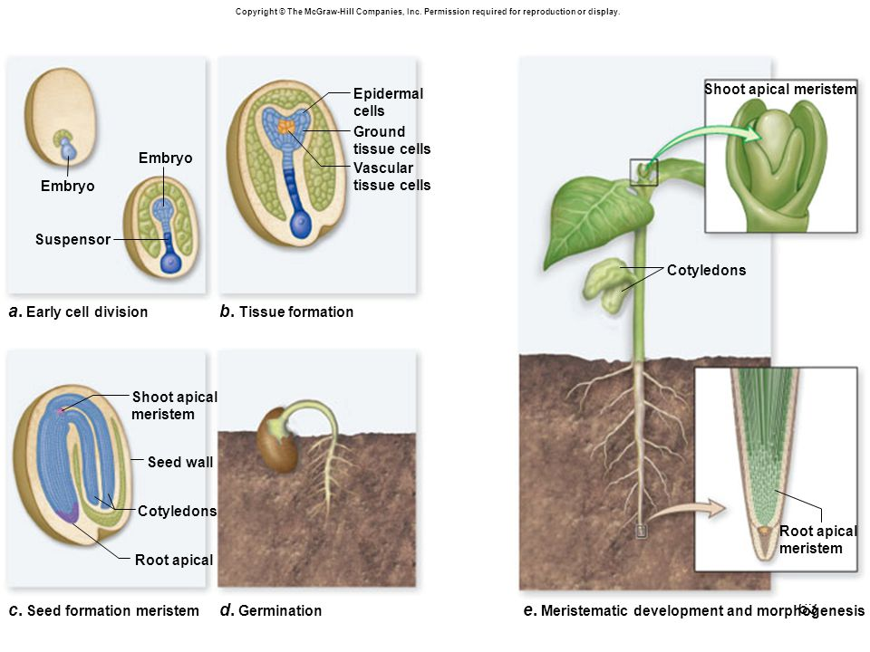63 a. Early cell division Embryo Suspensor b. Tissue formation d. Germination c. Seed formation meristem Seed wall Shoot apical meristem Root apical S