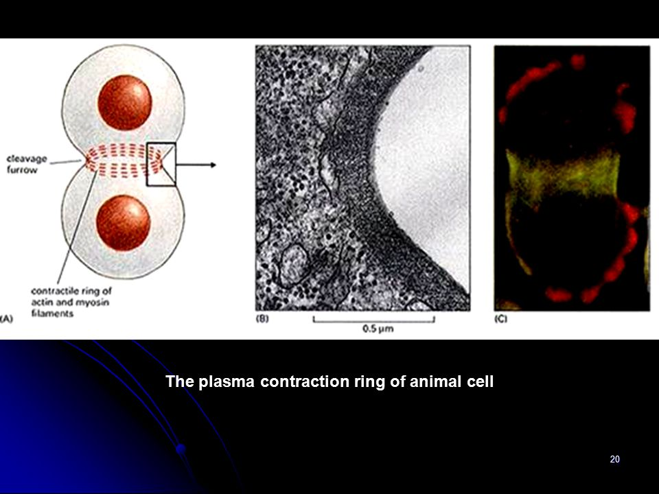 20 The plasma contraction ring of animal cell