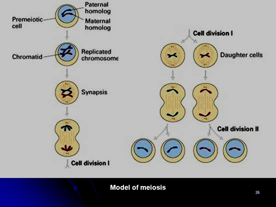 26 Model of meiosis