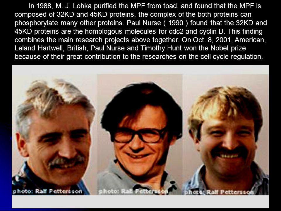 39 In 1988, M. J. Lohka purified the MPF from toad, and found that the MPF is composed of 32KD and 45KD proteins, the complex of the both proteins can