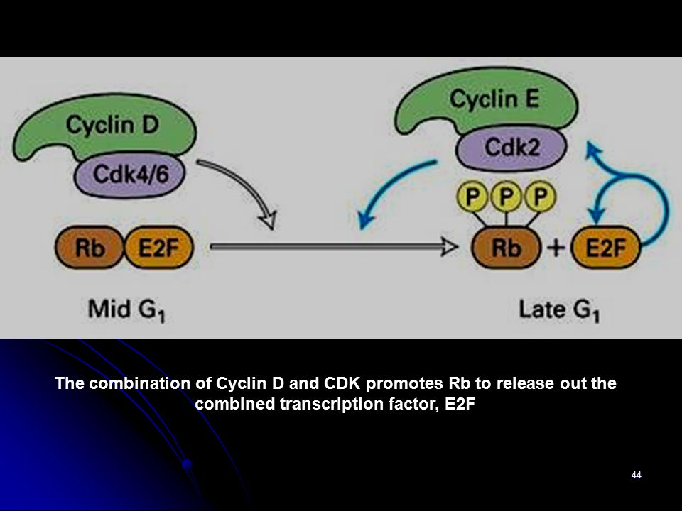 44 The combination of Cyclin D and CDK promotes Rb to release out the combined transcription factor, E2F