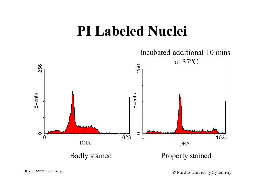 Slide 15, 4/12/2015 of DNA.ppt  Purdue University Cytometry Laboratories PI Labeled Nuclei Badly stainedProperly stained DNA Incubated additional 10
