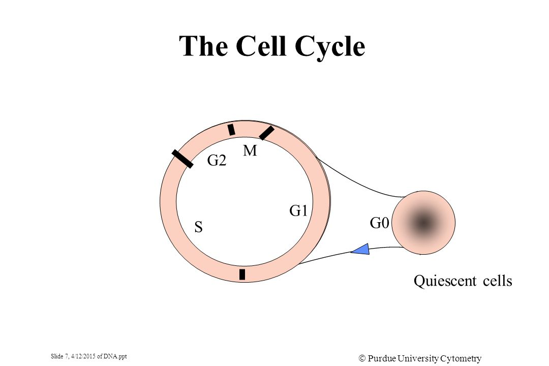 Slide 7, 4/12/2015 of DNA.ppt  Purdue University Cytometry Laboratories The Cell Cycle G1 M G2 S G0 Quiescent cells
