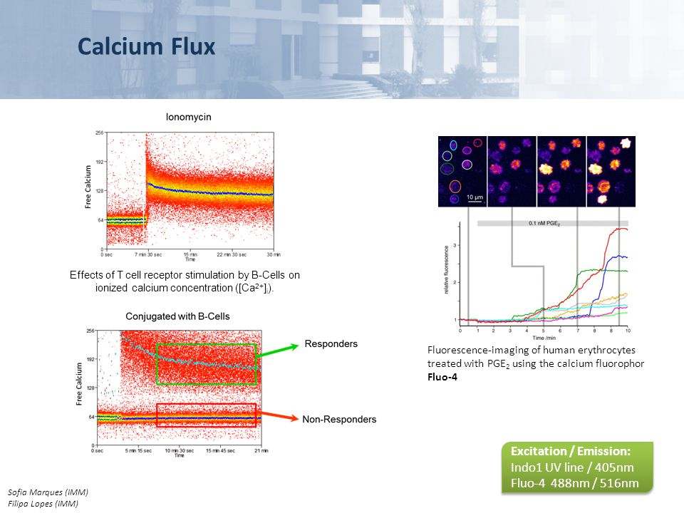 Calcium Flux Fluorescence-imaging of human erythrocytes treated with PGE 2 using the calcium fluorophor Fluo-4 Effects of T cell receptor stimulation
