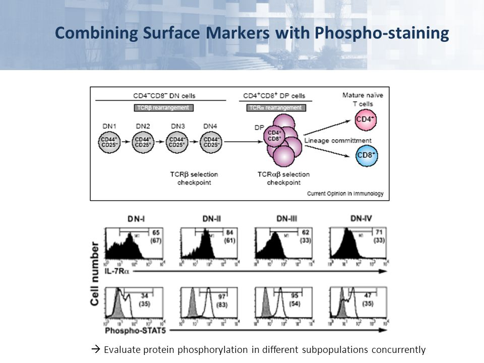 Combining Surface Markers with Phospho-staining  Evaluate protein phosphorylation in different subpopulations concurrently
