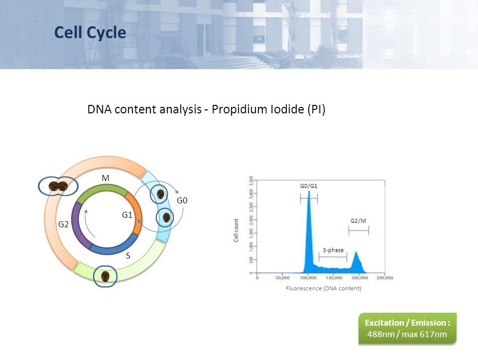 Cell Cycle DNA content analysis - Propidium Iodide (PI) G2 M G1 S G0 G0/G1 S-phase G2/M Fluorescence (DNA content) Excitation / Emission : 488nm / max