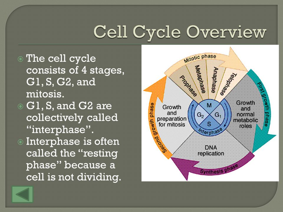 The cell cycle consists of 4 stages, G1, S, G2, and mitosis.