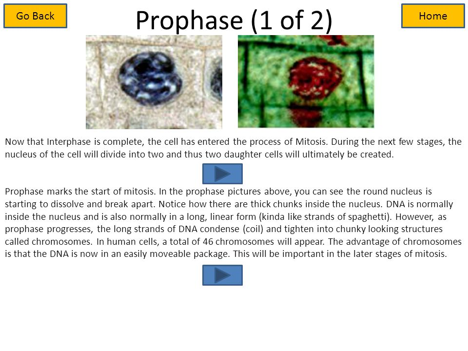Prophase (1 of 2) Now that Interphase is complete, the cell has entered the process of Mitosis.