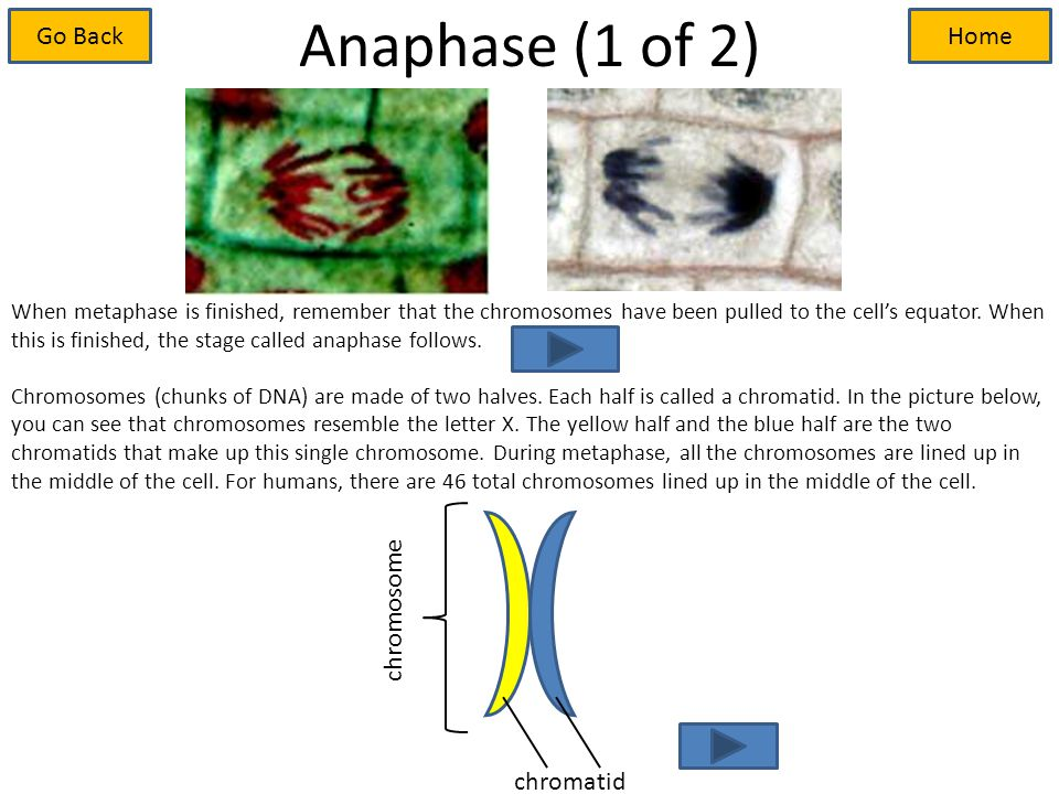 Anaphase (1 of 2) When metaphase is finished, remember that the chromosomes have been pulled to the cell's equator.