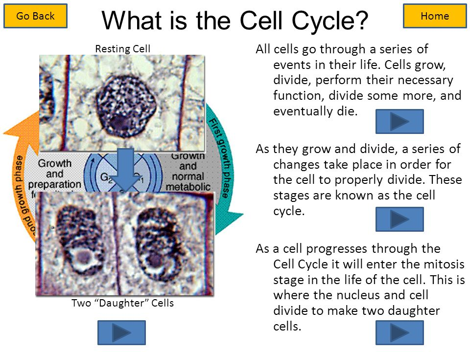 All cells go through a series of events in their life.