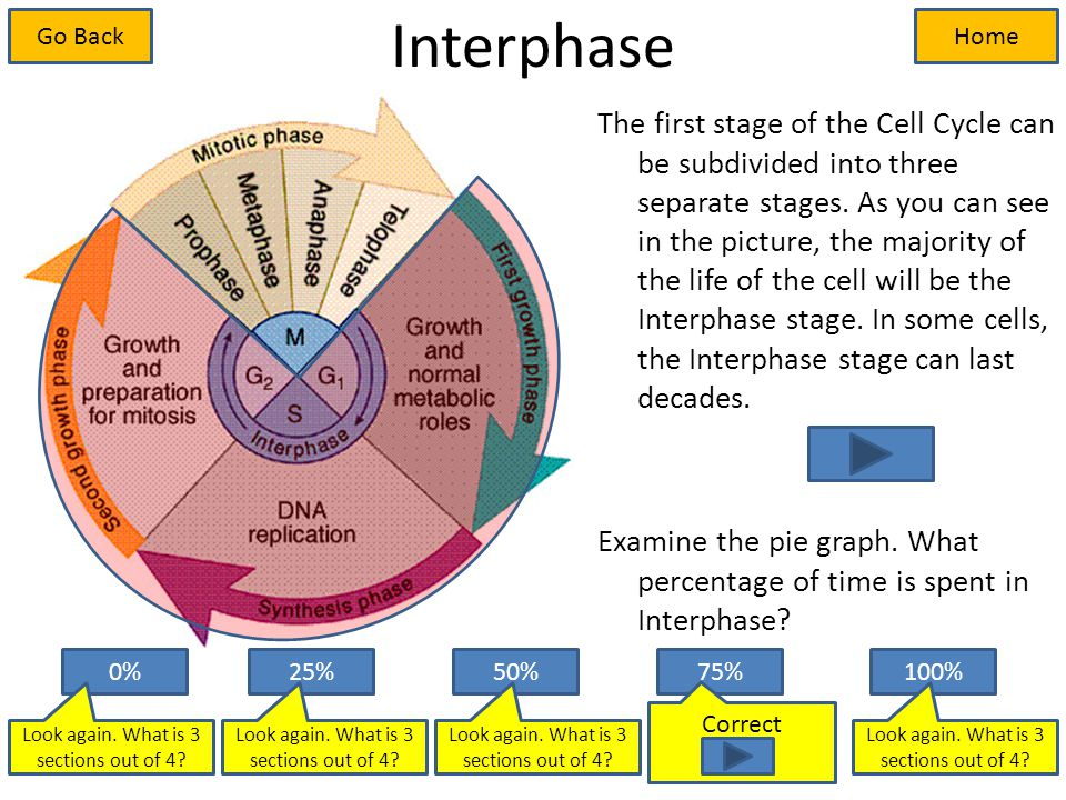 Interphase The first stage of the Cell Cycle can be subdivided into three separate stages.