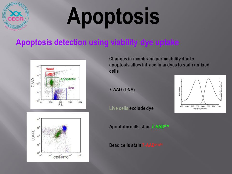 Apoptosis detection using viability dye uptake Changes in membrane permeability due to apoptosis allow intracellular dyes to stain unfixed cells 7-AAD