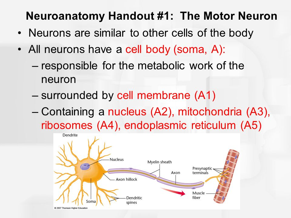 Neuroanatomy Handout #1: The Motor Neuron Neurons are similar to other cells of the body All neurons have a cell body (soma, A): –responsible for the