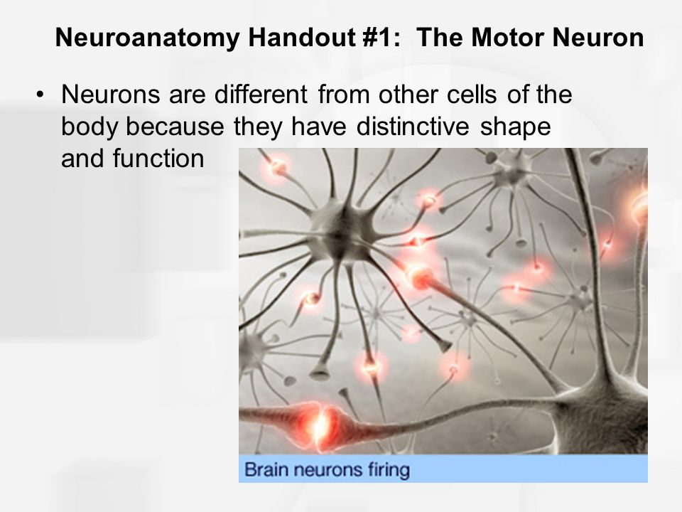 Neuroanatomy Handout #1: The Motor Neuron The 4 major components of a motor neuron: –Soma/Cell body –Dendrites –Axon –Presynaptic terminals