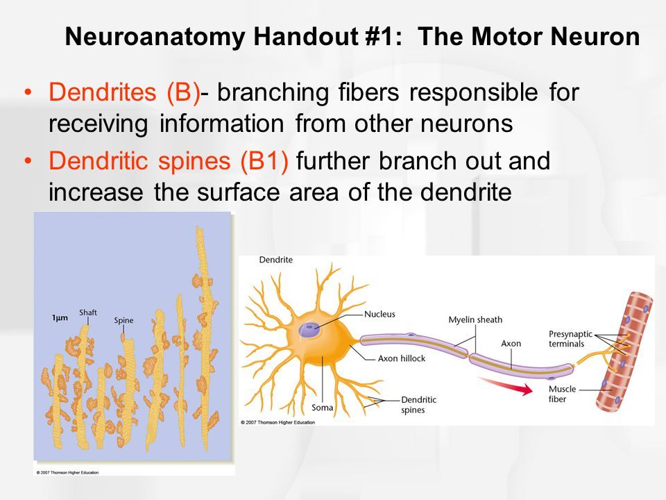 The Nerve Impulse The resting potential: state of the neuron prior to the sending of a nerve impulse Electrical gradient: a difference in the electrical charge inside and outside of the cell –At rest, the membrane is slightly negative with respect to the outside (approximately -70 millivolts)