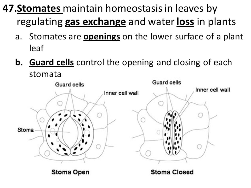 57.Meiosis is one of the factors responsible for producing variation among the gametes produced by an organism a.Crossing-over – chromosomes switch pieces of DNA with each other b.Independent Assortment - chromosomes independently line up during cell division and then separate into different gametes