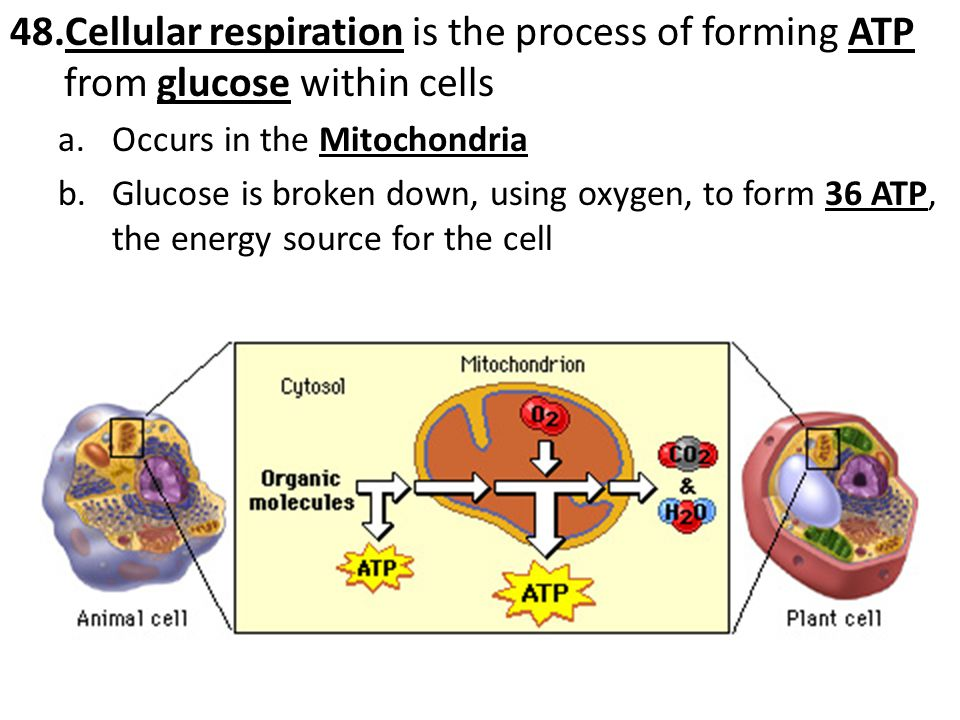 c.If oxygen is NOT present, the cell will go through fermentation, which only generates 2 ATP per molecule of glucose i.Fermentation in animal cells creates lactic acid and in plant cells creates alcohol d.Aerobic respiration (36 ATP) is more efficient than anaerobic respiration (2 ATP)