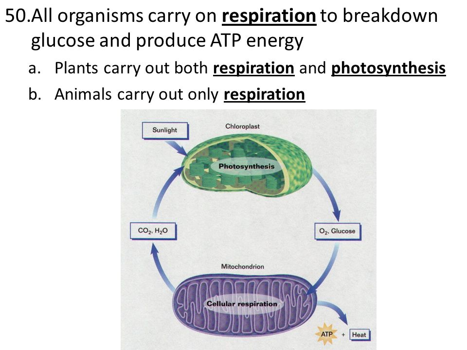 51.Asexual Reproduction is a form of reproduction that requires only one parent and the offspring are genetically identical to the parent a.In single celled organisms is used for reproduction = offspring are identical b.In multicellular organisms is for growth and repair of damaged cells
