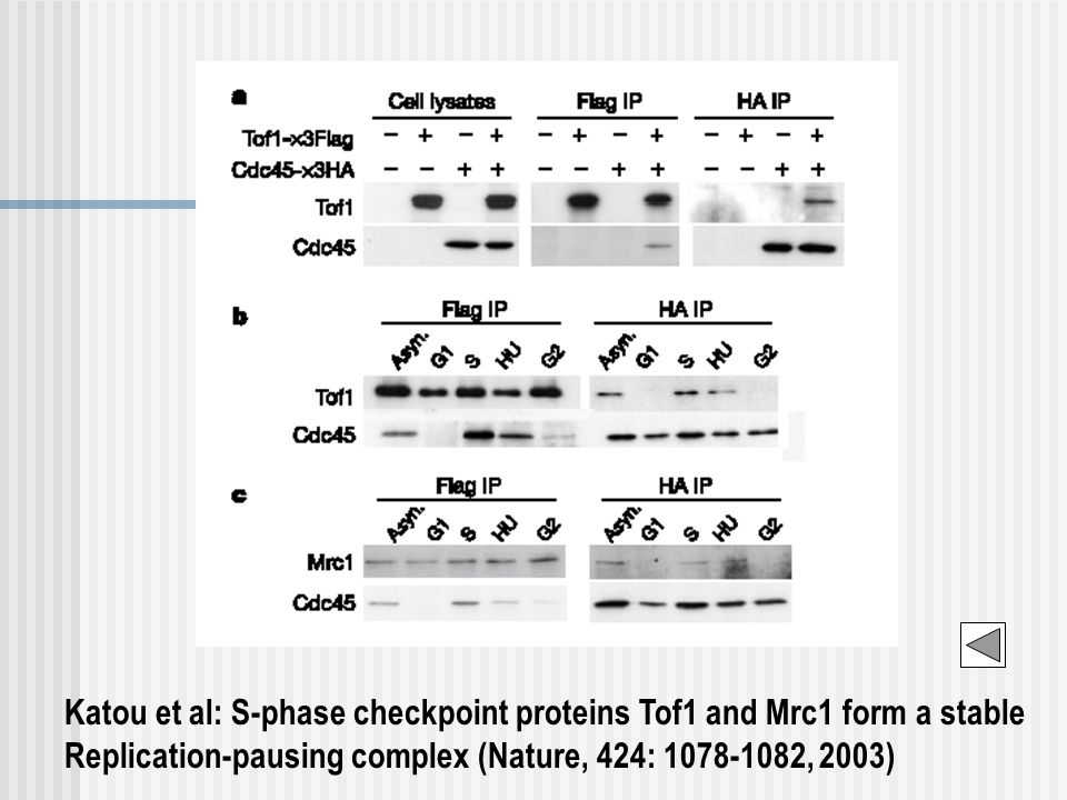 Katou et al: S-phase checkpoint proteins Tof1 and Mrc1 form a stable Replication-pausing complex (Nature, 424: 1078-1082, 2003)