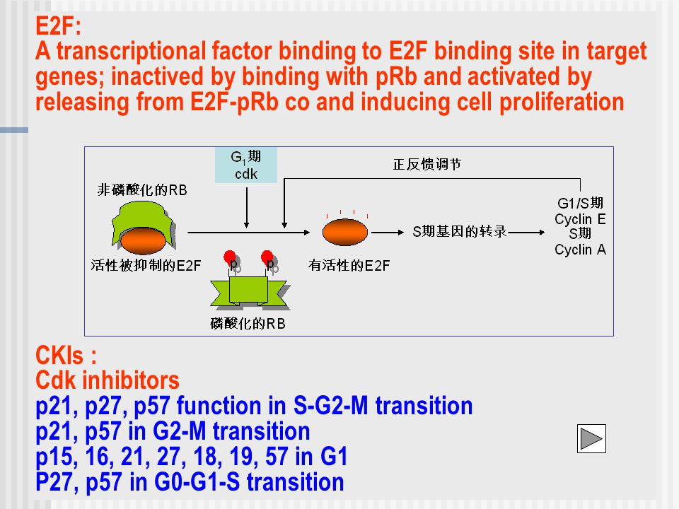 E2F: A transcriptional factor binding to E2F binding site in target genes; inactived by binding with pRb and activated by releasing from E2F-pRb co and inducing cell proliferation CKIs : Cdk inhibitors p21, p27, p57 function in S-G2-M transition p21, p57 in G2-M transition p15, 16, 21, 27, 18, 19, 57 in G1 P27, p57 in G0-G1-S transition