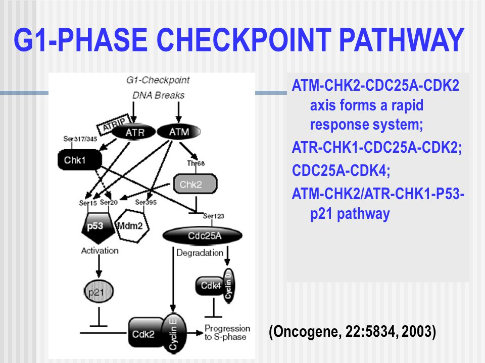 G1-PHASE CHECKPOINT PATHWAY ATM-CHK2-CDC25A-CDK2 axis forms a rapid response system; ATR-CHK1-CDC25A-CDK2; CDC25A-CDK4; ATM-CHK2/ATR-CHK1-P53- p21 pathway (Oncogene, 22:5834, 2003)