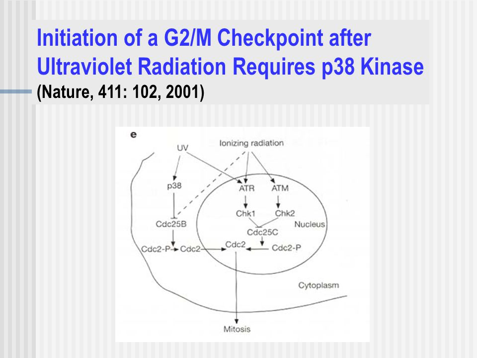 Initiation of a G2/M Checkpoint after Ultraviolet Radiation Requires p38 Kinase (Nature, 411: 102, 2001)