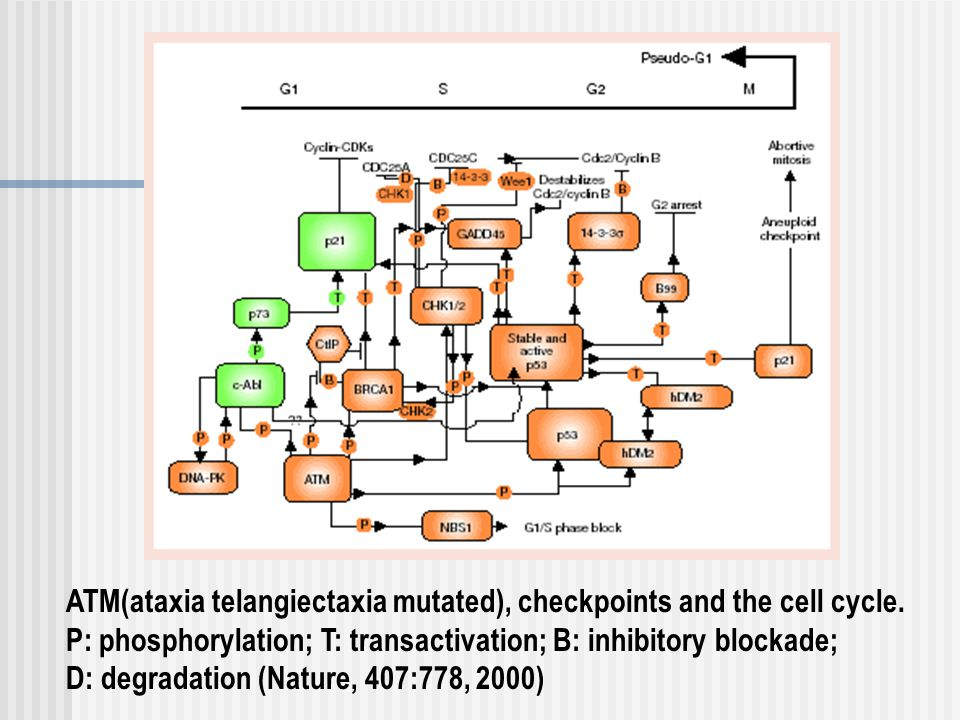 ATM(ataxia telangiectaxia mutated), checkpoints and the cell cycle.