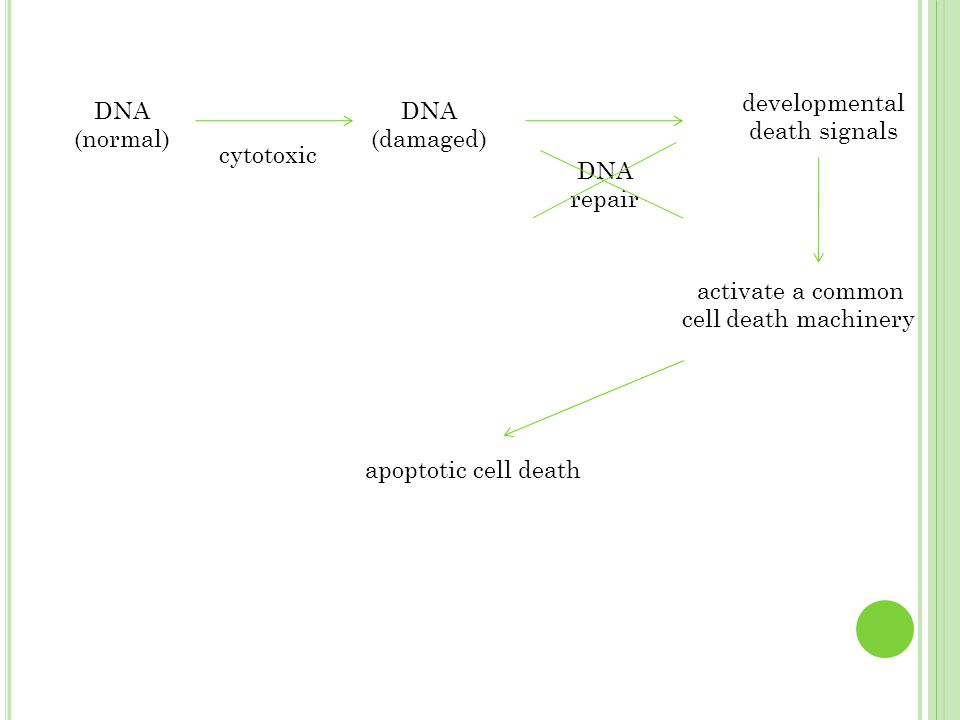 DNA (normal) cytotoxic DNA (damaged) DNA repair developmental death signals activate a common cell death machinery apoptotic cell death