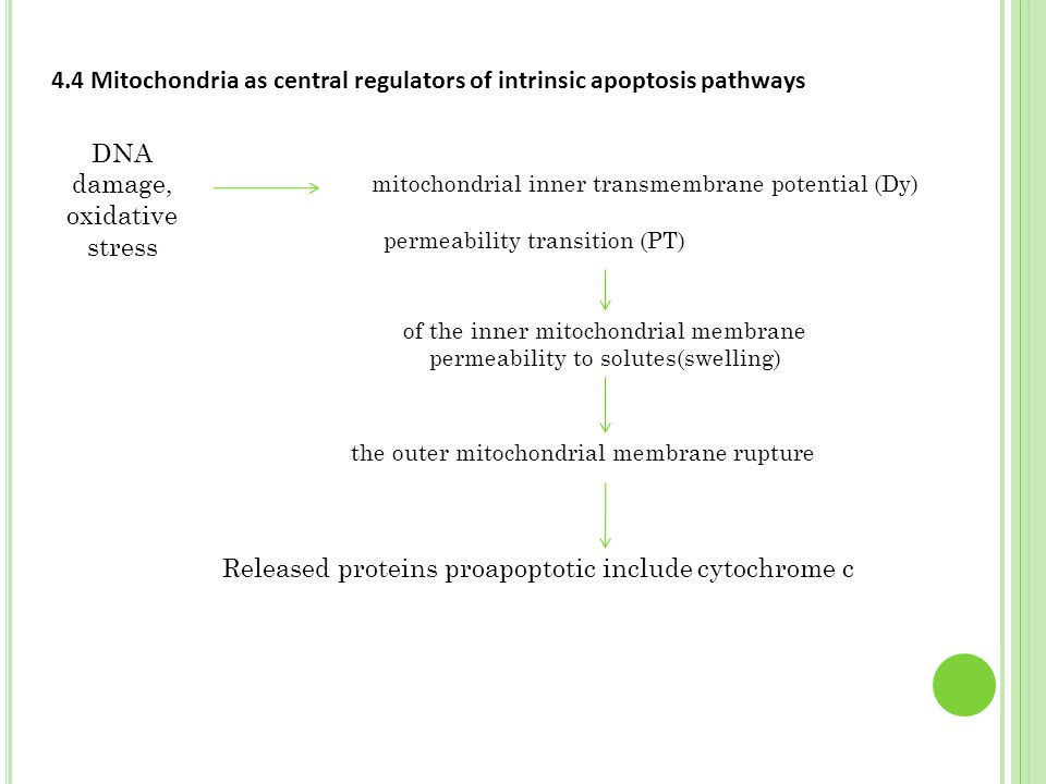 4.4 Mitochondria as central regulators of intrinsic apoptosis pathways DNA damage, oxidative stress mitochondrial inner transmembrane potential (Dy) p