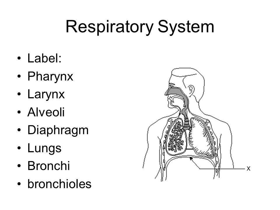 Respiratory System Label: Pharynx Larynx Alveoli Diaphragm Lungs Bronchi bronchioles