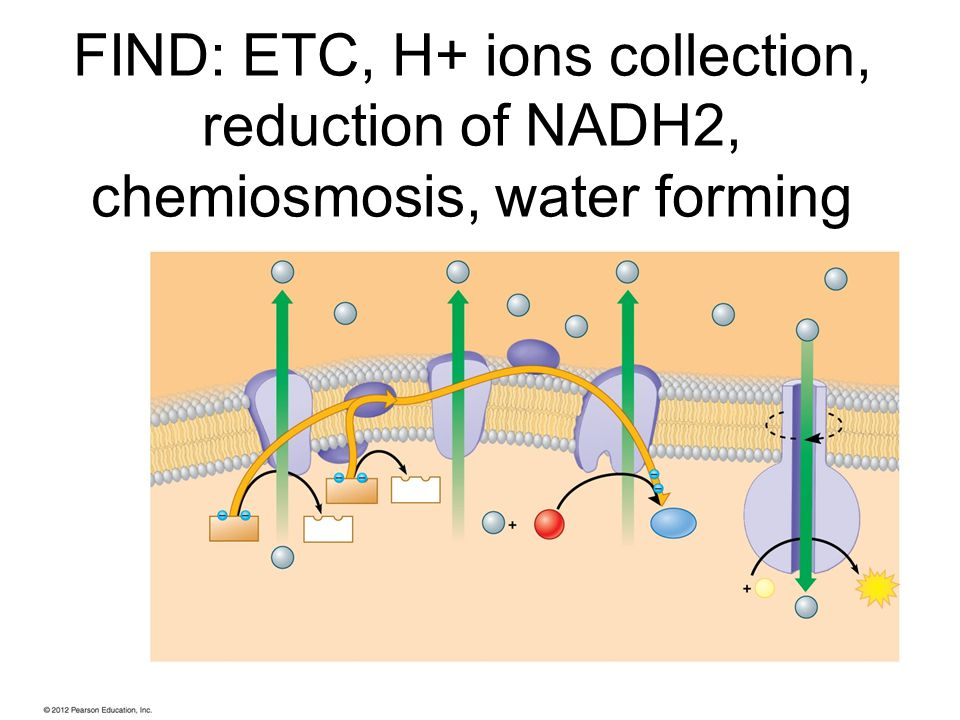 FIND: ETC, H+ ions collection, reduction of NADH2, chemiosmosis, water forming
