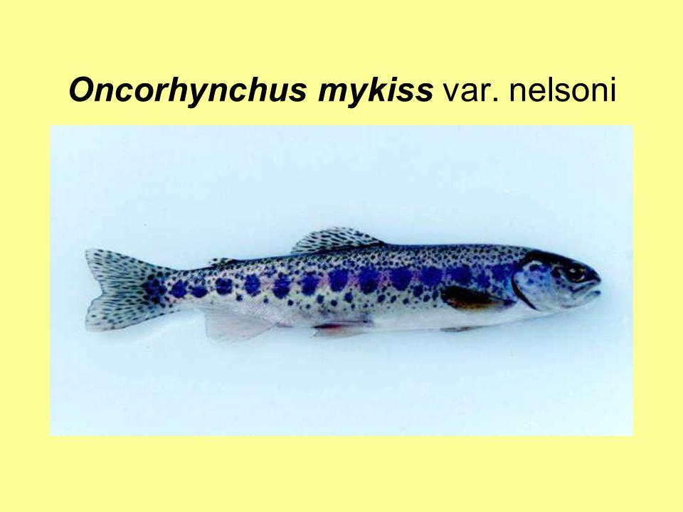 Oncorhynchus mykiss var. nelsoni