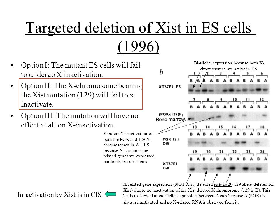 Targeted deletion of Xist in ES cells (1996) Option I: The mutant ES cells will fail to undergo X inactivation. Option II: The X-chromosome bearing th