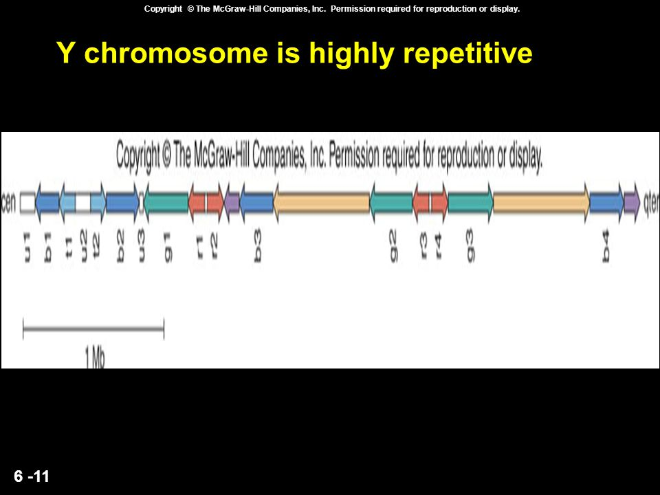 6 -11 Copyright © The McGraw-Hill Companies, Inc. Permission required for reproduction or display. Y chromosome is highly repetitive