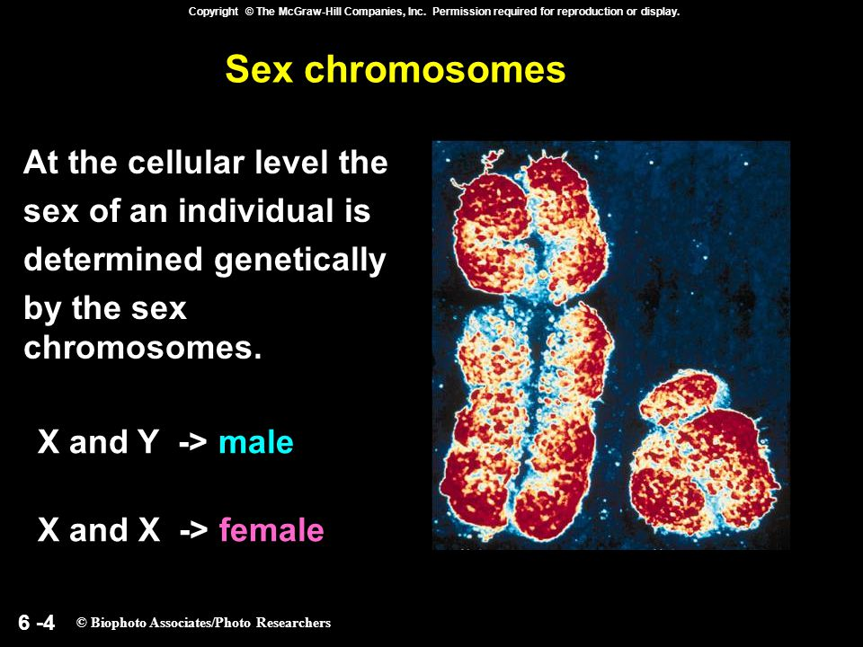 6 -4 Copyright © The McGraw-Hill Companies, Inc. Permission required for reproduction or display. Sex chromosomes At the cellular level the sex of an