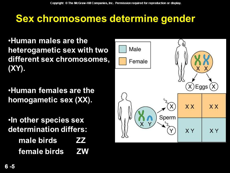 6 -5 Copyright © The McGraw-Hill Companies, Inc. Permission required for reproduction or display. Sex chromosomes determine gender Human males are the
