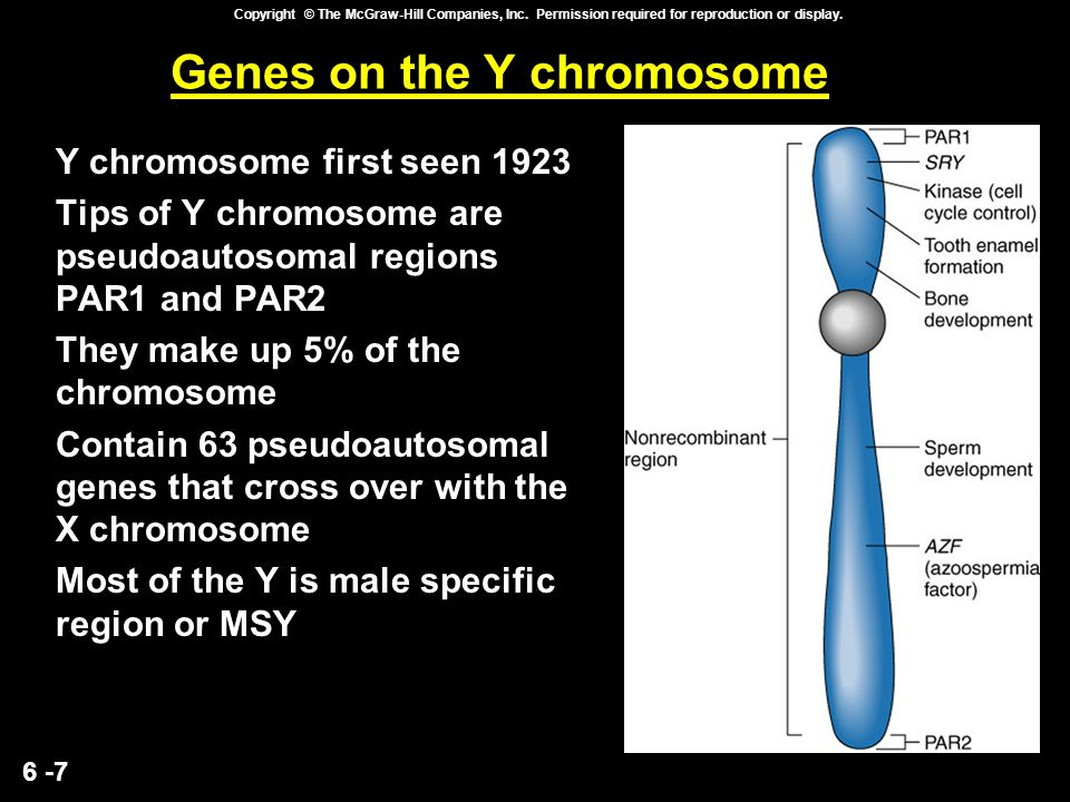 6 -7 Copyright © The McGraw-Hill Companies, Inc. Permission required for reproduction or display. Genes on the Y chromosome Y chromosome first seen 19