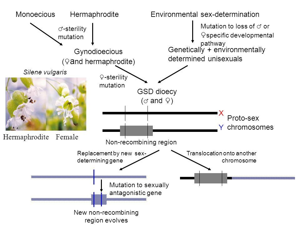 HermaphroditeEnvironmental sex-determination Gynodioecious (♀ a nd hermaphrodite) GSD dioecy ( ♂ and ♀) Genetically + environmentally determined unisexuals Proto-sex chromosomes Non-recombining region Translocation onto another chromosome Replacement by new sex- determining gene Monoecious ♂-sterility mutation Mutation to loss of ♂ or ♀ specific developmental pathway New non-recombining region evolves Mutation to sexually antagonistic gene XYXY Hermaphrodite Female Silene vulgaris ♀-sterility mutation