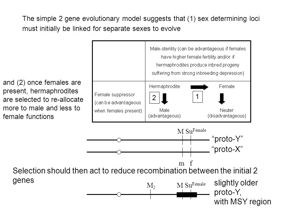 M Su Female m f proto-X Selection should then act to reduce recombination between the initial 2 genes proto-Y The simple 2 gene evolutionary model suggests that (1) sex determining loci must initially be linked for separate sexes to evolve 1 2 M Su Female M2M2 slightly older proto-Y, with MSY region and (2) once females are present, hermaphrodites are selected to re-allocate more to male and less to female functions